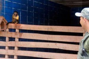 Macacos estavam entre os animais apreendidos. Foto: Divulgação/ PMSB