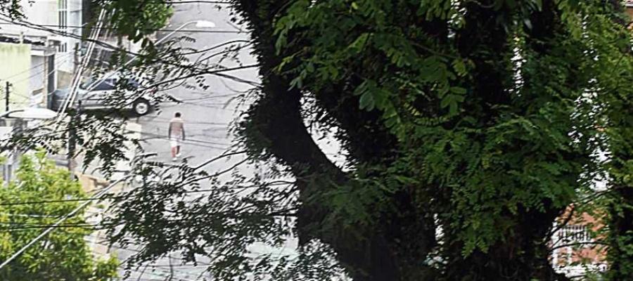 Chegada do período chuvoso do ano coloca população em alerta para risco de tragédias devido à queda dos exemplares. Foto: Nario Barbosa/DGABC